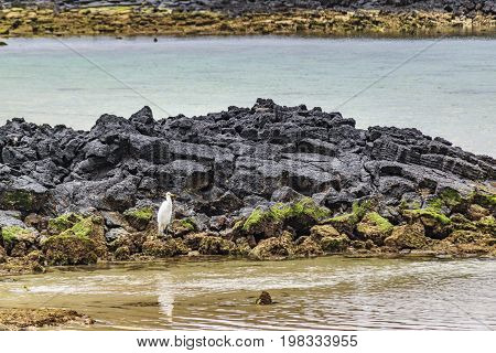 White Bird At Rocky Beach, Galapagos, Ecuador