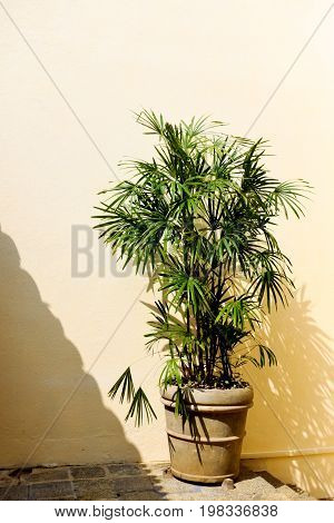 A pot with a dwarf palm tree stands at the yellow wall. The sun is shining brightly. Tough shadow.