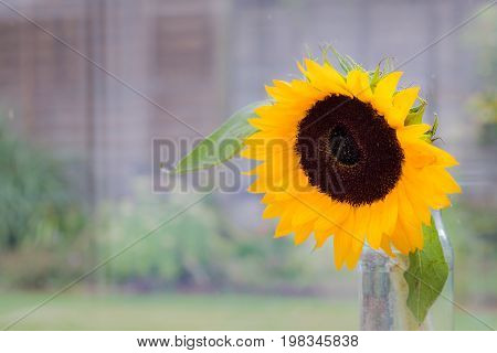 Sunflower in  a pot with blurred outdoor background
