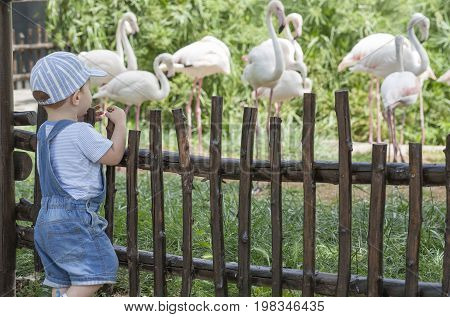 Baby boy looking Greater flamingoes in zoo. Phoenicopterus roseus