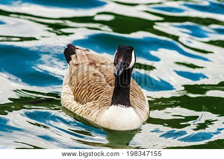 Beautiful Mallard With Black Head On The Lake