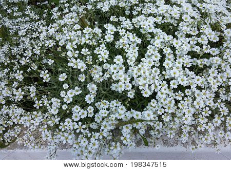 Small Delicate Flowers. Authentic Floral Background Of Genuine White Flowers With Faint Green Leaves