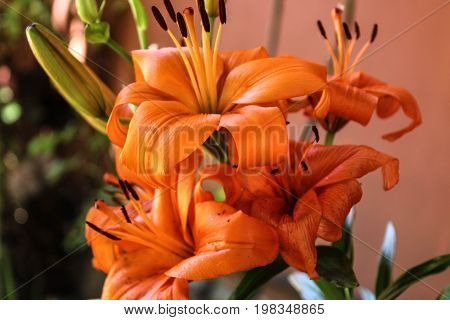 Beautiful lily in its maximum splendor and intense orange color