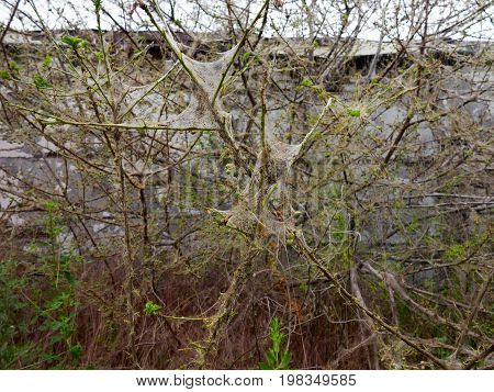 Branches Of A Cherry Tree Damaged By Larvae Of Pests. Trees Are Covered Webs And Cocoons With Caterp