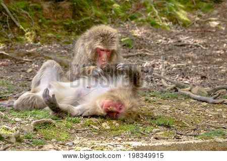 Japanese macaques getting their fur combed each other at Iwatayama Monkey Park of Arashiyama town in Kyoto prefecture, Japan. Macaca fuscata monkeys cleaning and debugging.