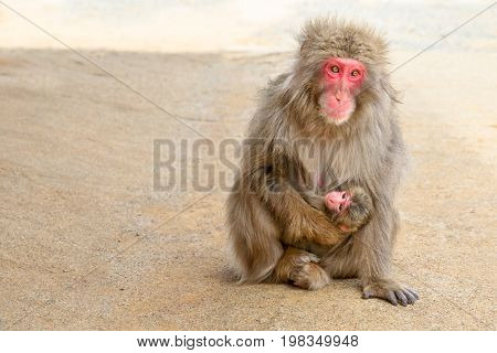 Japanese macaques mother feeding her hugged puppy baby sitting on the ground at Iwatayama Monkey Park of Arashiyama town in Kyoto prefecture, Japan. Copy space.