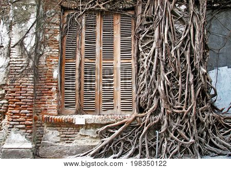 Wild roots trough the wall and ancient windows in old city, semarang, indonesia