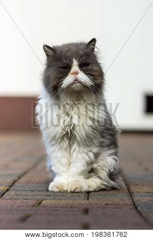 Dirty and sick homeless cat Persian breed.