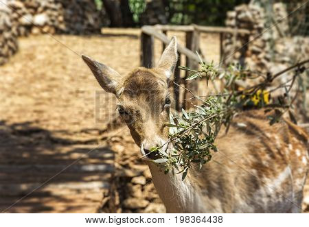The female of the young deer eats the leaves of the olive branch