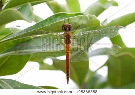 Image of dragonfly neurothemis intermedia atalanta on a green leaf. Insect Animal.