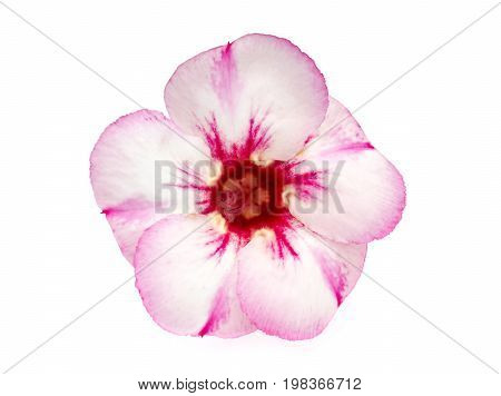 Single azalea flowers isolated on white background
