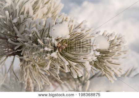 Spruce branches covered with hoarfrost and white snow in freezing weather in the winter