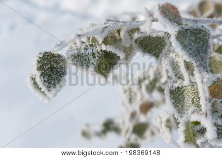 Birch leaves covered with hoarfrost and white snow in freezing weather in the winter