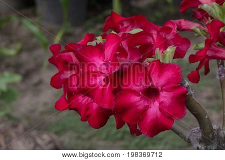 Image of a beautiful red azalea flowers in the garden. (Adenium)