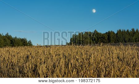 Clear blue sky over the corn field, which is brightened by shaft from the sun. Sunny landscape. with moon