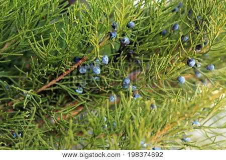Background of juniper branch with blue berries close-up.