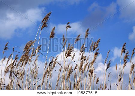 Dry reed whisks against blue sky and white clouds background. Reeds sway in wind.