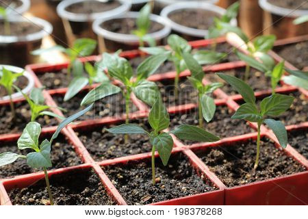 Seedlings of sweet pepper in red containers. Sprouts are lit by sun. Close up.