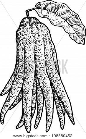 Fingered citron illustration, drawing, engraving, ink, line art