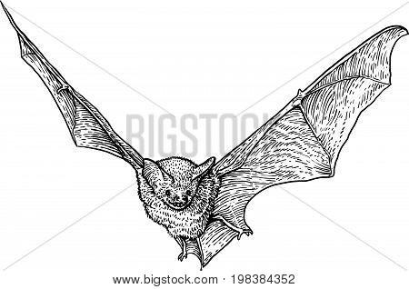 Bat illustration, drawing, engraving, ink, line art