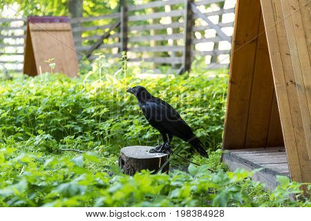 one 1 Raven chick on a leash sitting on a stump in the nursery of birds grass house shelter