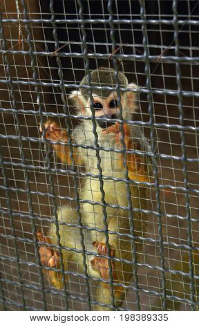 Squirrel monkey is animal in cage the zoo.