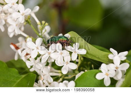 chafer on a white lilac close up poster