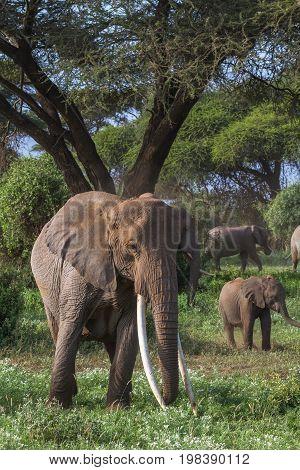 Very big elephant with long tusks. Kenya, Africa