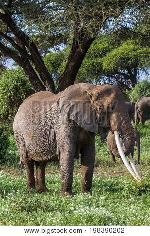 African elephant with long tusks. Kenya, Africa