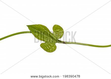 Young Aristolochia pothieri Pierre ex Lecomte leaf it is host plant for Common Rose (Pachliopta aristolochiae) and Golden Birdwing (Troides aeacus) caterpillars isolated with clipping path