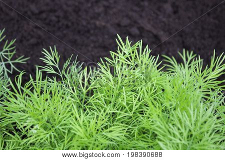 Photo of dill harvest for eco cookery business. Herb vegetable garden with green dill plants. Organic food fresh spice. Antioxidant kitchen herbs on the eco farm garden bed. Selective soft focus