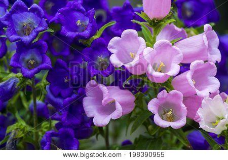 Canterbury bellflower . blue bell flower (campanula)
