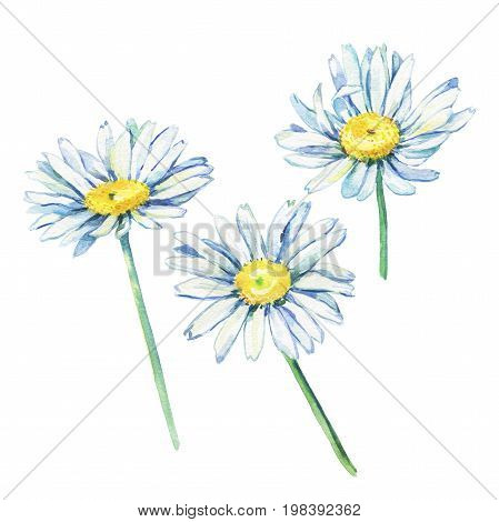 Set of the branches flowering daisies (Bellis perennis, bruisewort, woundwort, chamomile, camomile)