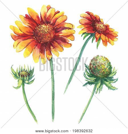 The branch flowering Gaillardia pulchella, common name blanket flower (Indian Blanket, Firewheel, Sundance, Arizona Sun ), isolated on white background. Watercolor hand drawn painting illustration.