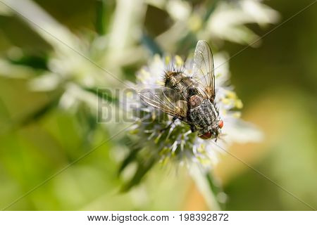 Hairy Fly On A Flower