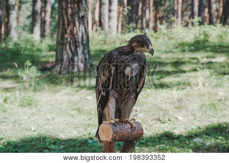 Proud Young Eagle In The Forest