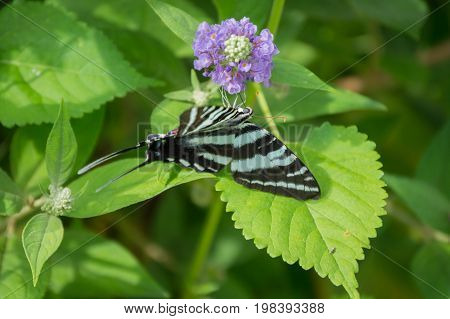 Black and white butterfly on green leaves with purple flower and a bokeh effect
