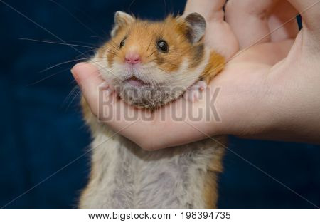 Funny cute Syrian hamster hanging on a human finger (against the dark background) selective focus on the hamster eyes