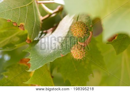 Green platan leaves with fruits close up