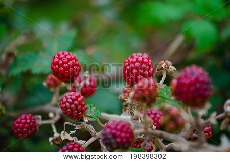 Moras rojas silvestres en fondo verde natural