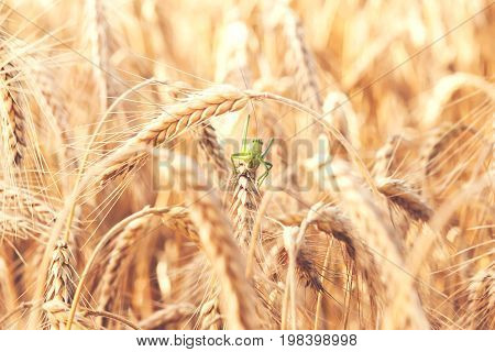 A grasshopper insect on a wheat plant