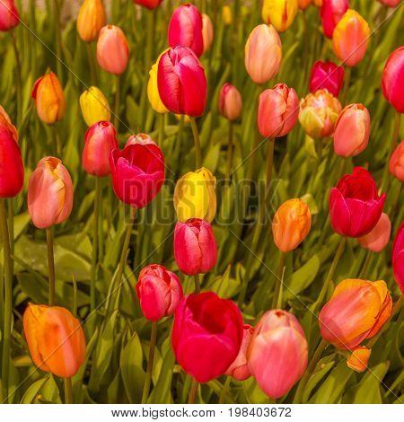 Beautiful flowers background selective focus, Keukenhof, Netherlands