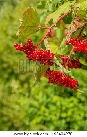 The red twigs of the beautiful guelder-rose shrub are bending from the heavy load of the many bright red berries on a sunny day in the summer season. The poisonous fruits are not appreciated by birds they usually stay on the shrub until winter.