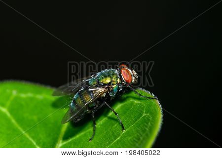 Macro shot of the insect flies on a green leaf with dark tone background.