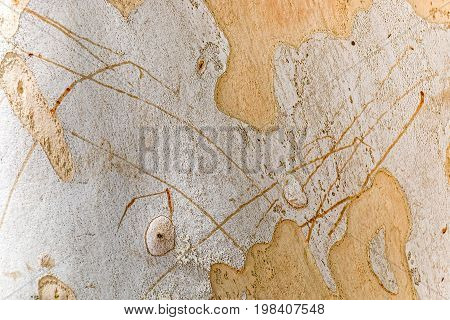 Textured background of tree bark Sycamore closeup