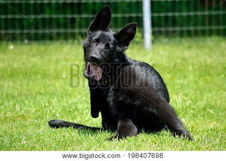 Black shepherd puppy scratching in the meadow