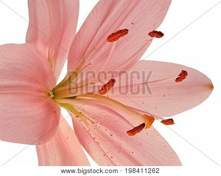 Stamens and pistil of pink lily closeup