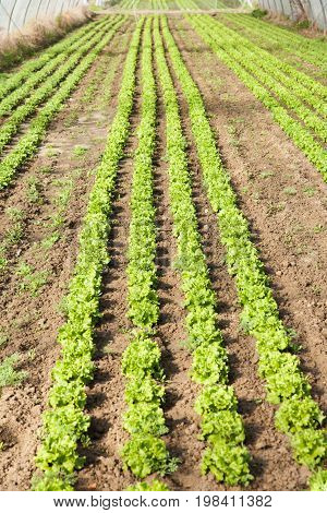 large culture of organic salad in greenhouses