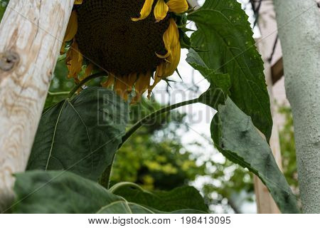 withered sunflower on wood at daylight close up