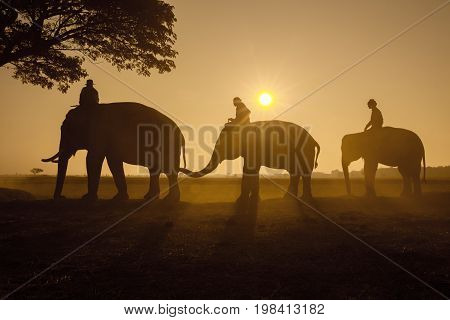 Thailand Three elephants walking to under tree with mahout together sun rise in morning time.